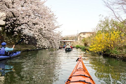 八幡掘りの桜と菜の花