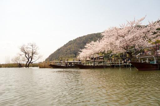水郷の桜と遊覧船乗り場