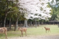 [奈良][桜][鹿]