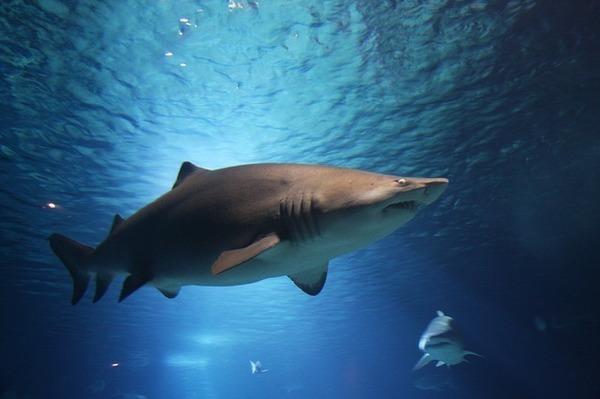 shark-220748_640.jpg
