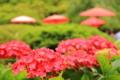 京都新聞写真コンテスト 赤和傘