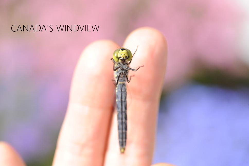 f:id:windview_canada:20200601003340j:plain