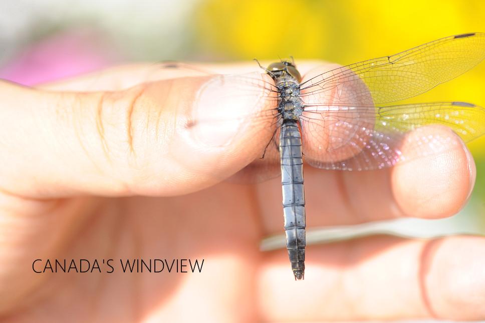 f:id:windview_canada:20200601003402j:plain