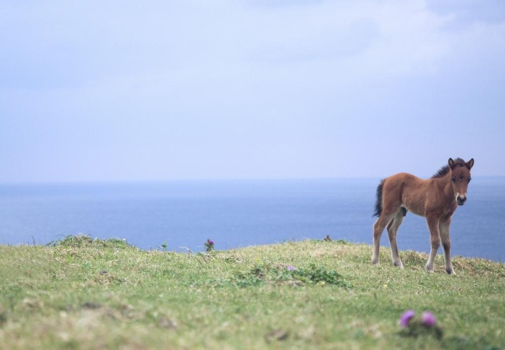 与那国島でのびのび生きる子馬