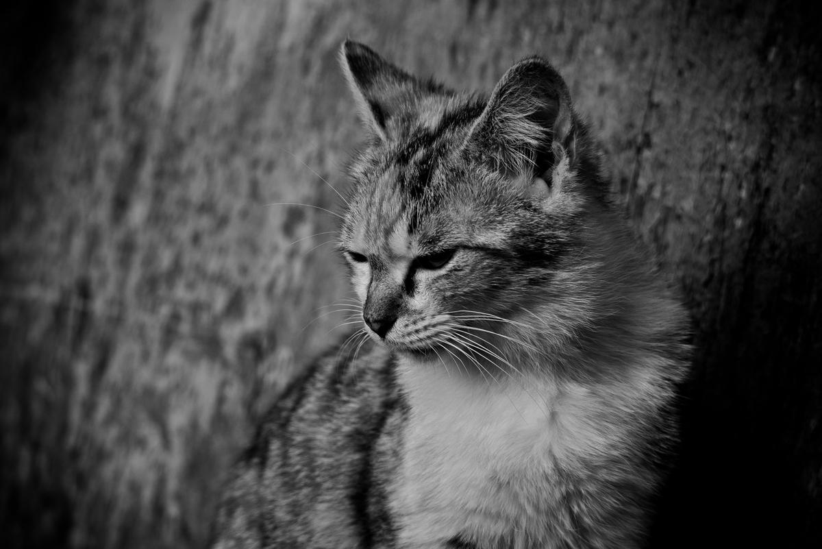 意気消沈猫のフリー画像(写真)
