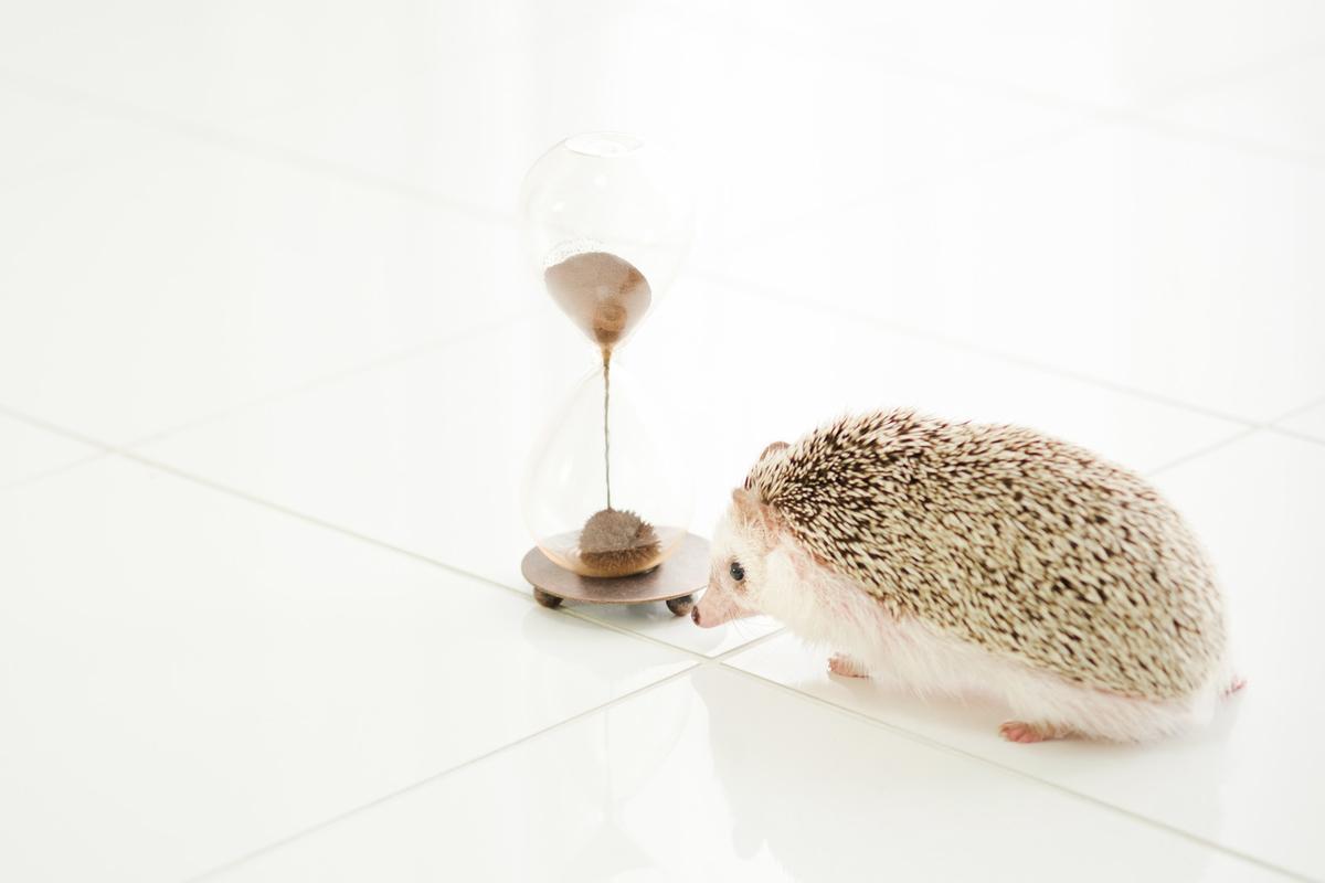 残り時間を気にするハリネズミのフリー画像(写真)