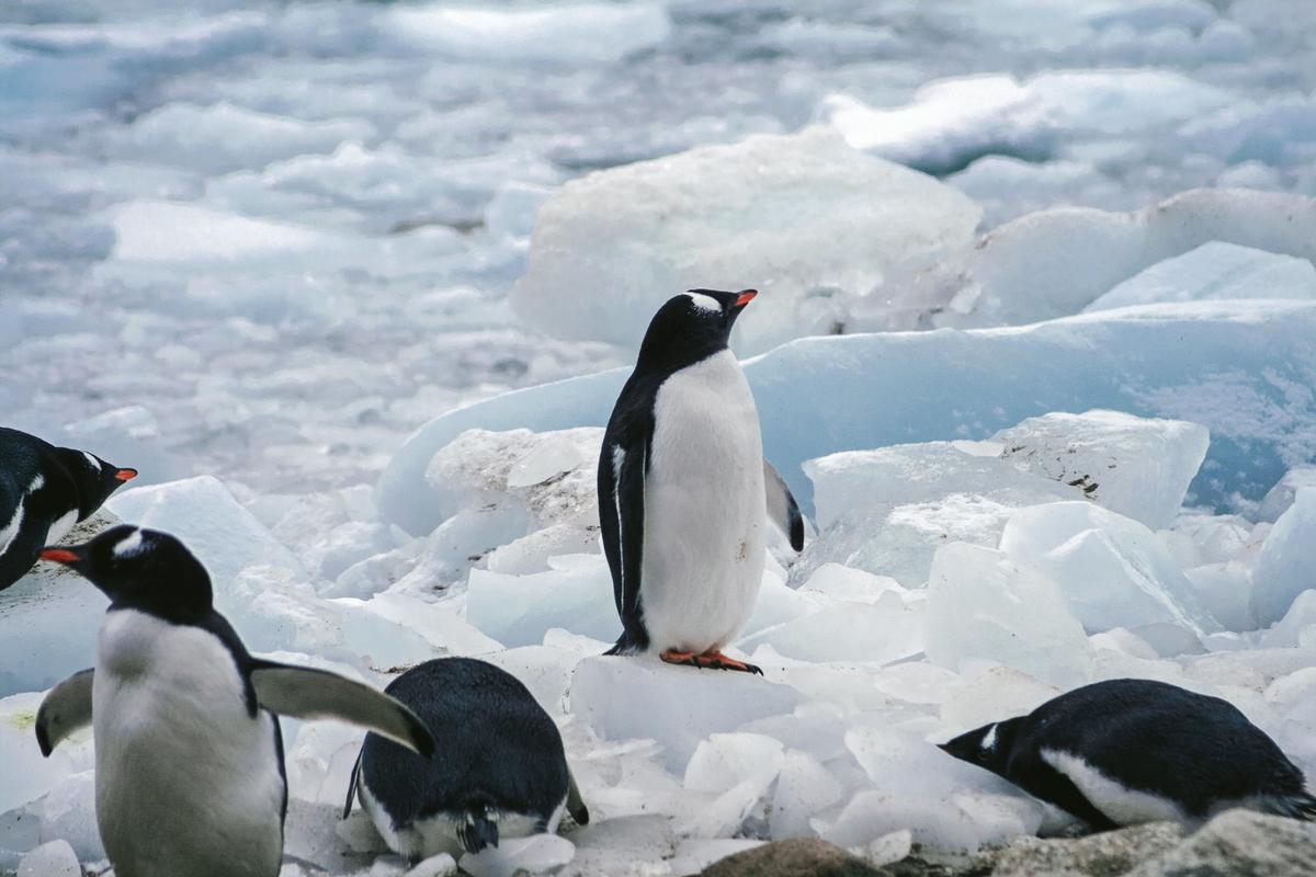 将来が不安なペンギンのフリー画像(写真)