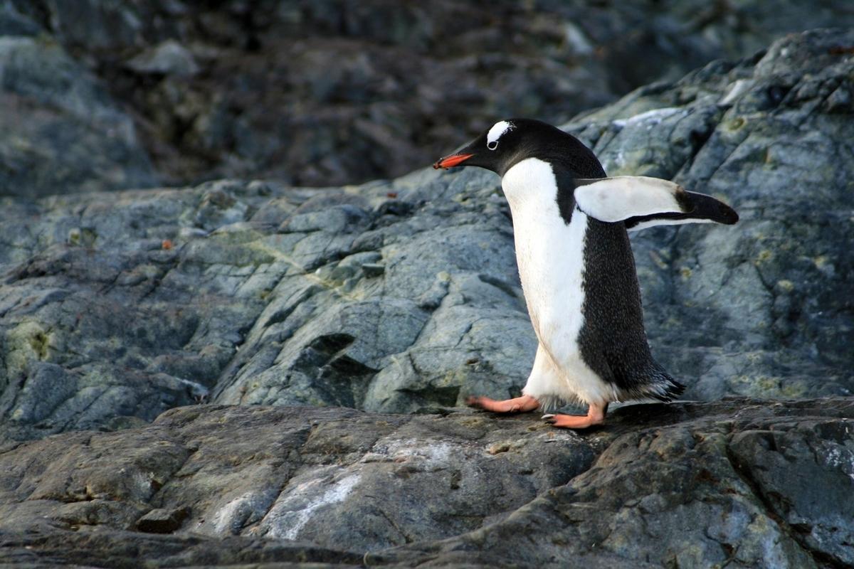 走るペンギンのフリー画像(写真)