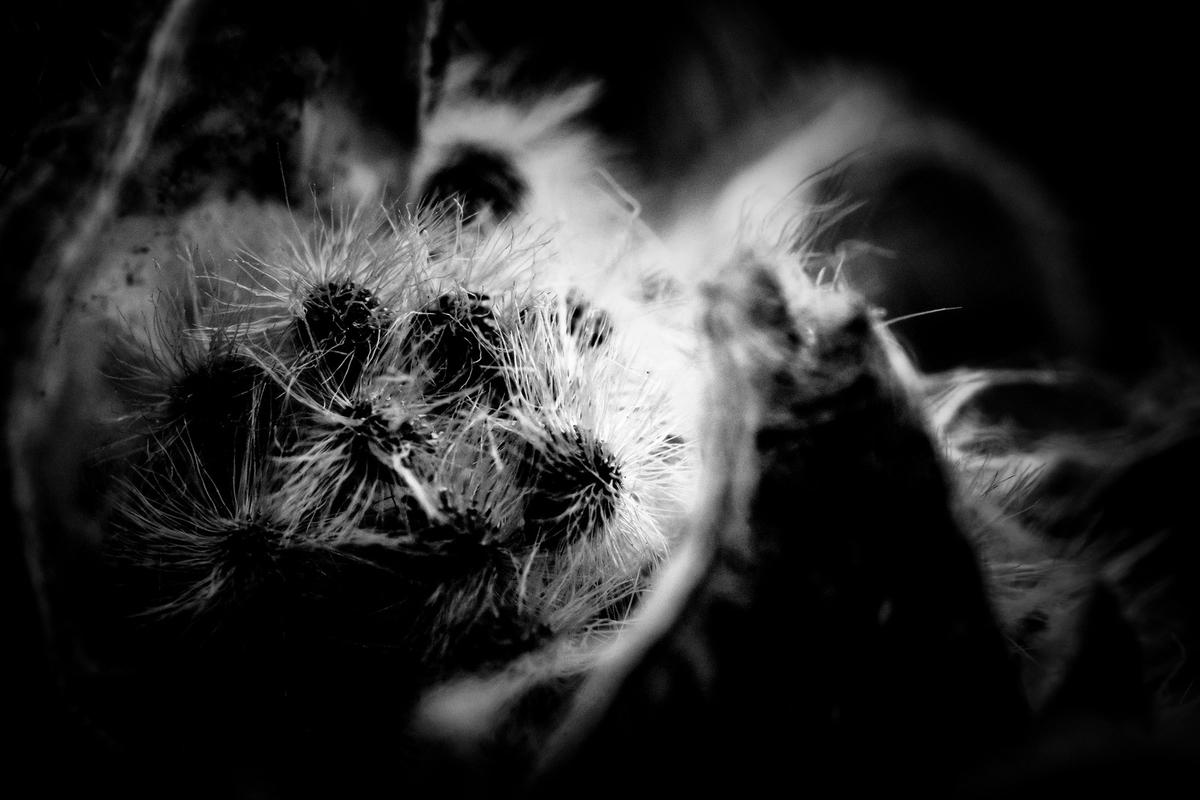 サボテンの棘(モノクロ)のフリー画像(写真)