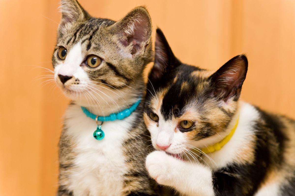 悪知恵を吹き込む猫のフリー画像(写真)