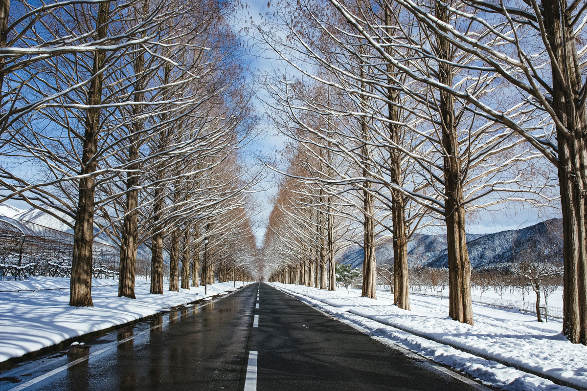 青空と雪解けのメタセコイア並木(滋賀県高島市マキノ町)のフリー画像(写真)