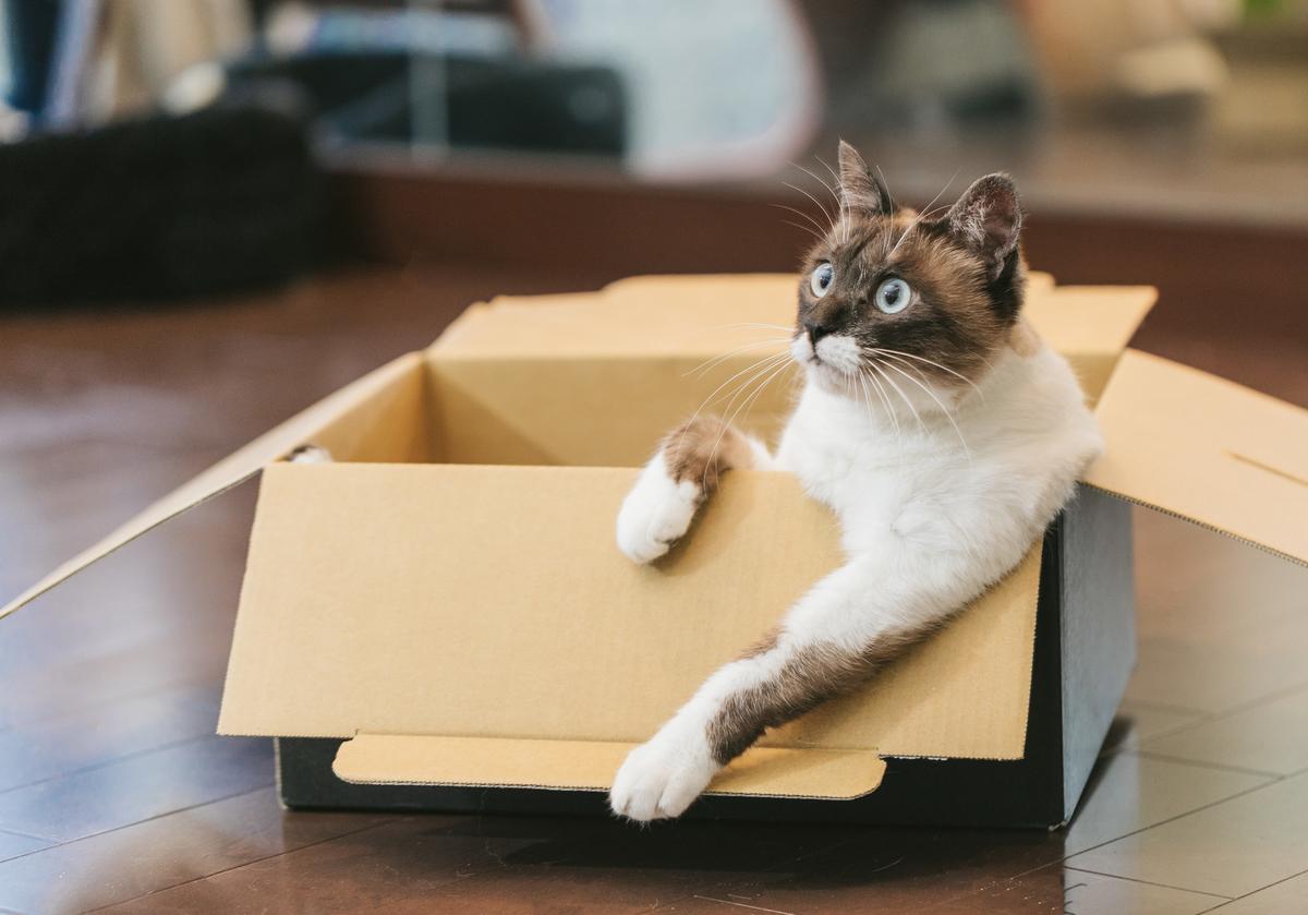 ダンボール箱でくつろぐ猫のフリー画像(写真)