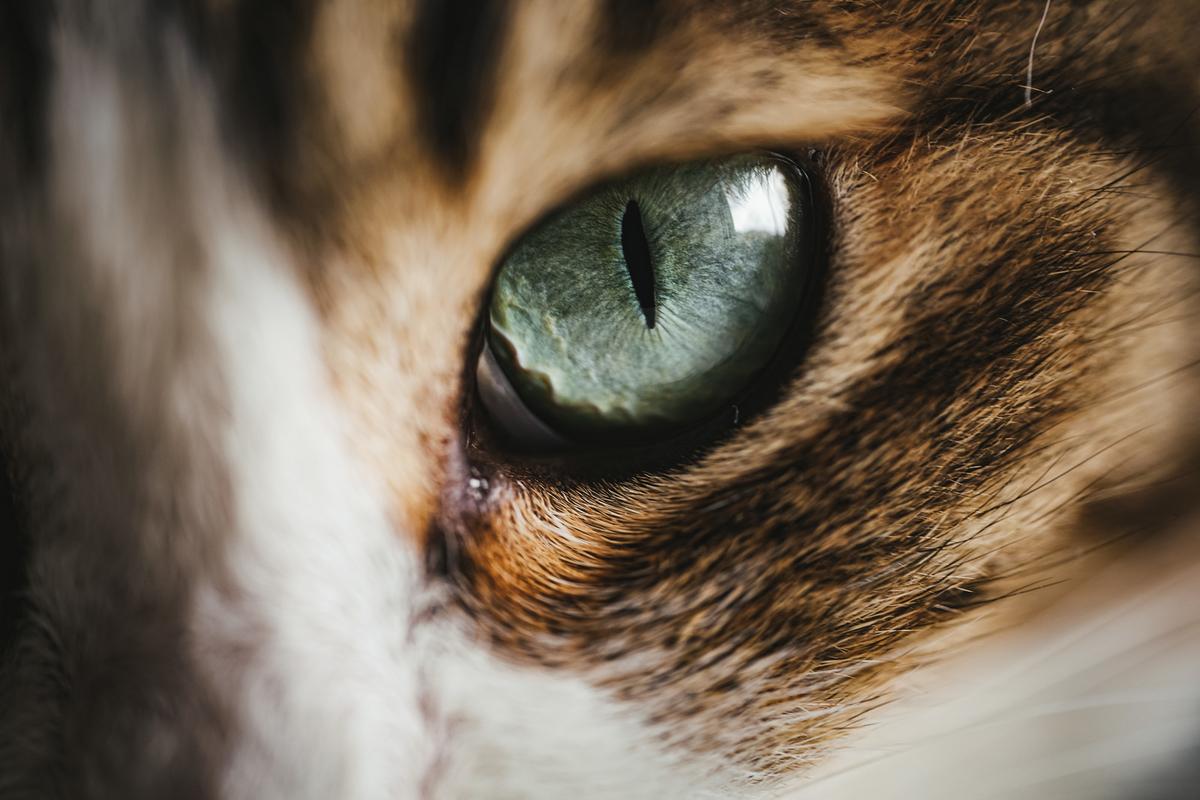 ギラリと鋭い猫の目のフリー画像(写真)