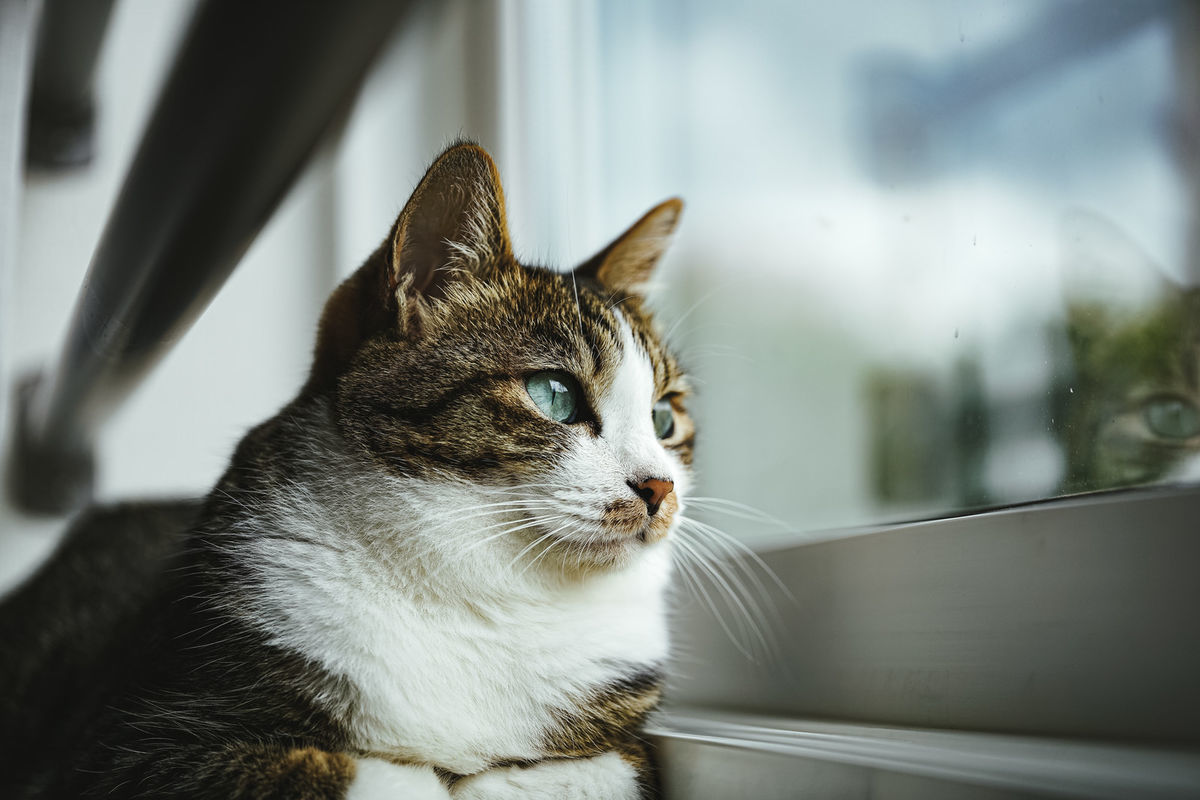 外に出れない自粛猫の写真素材