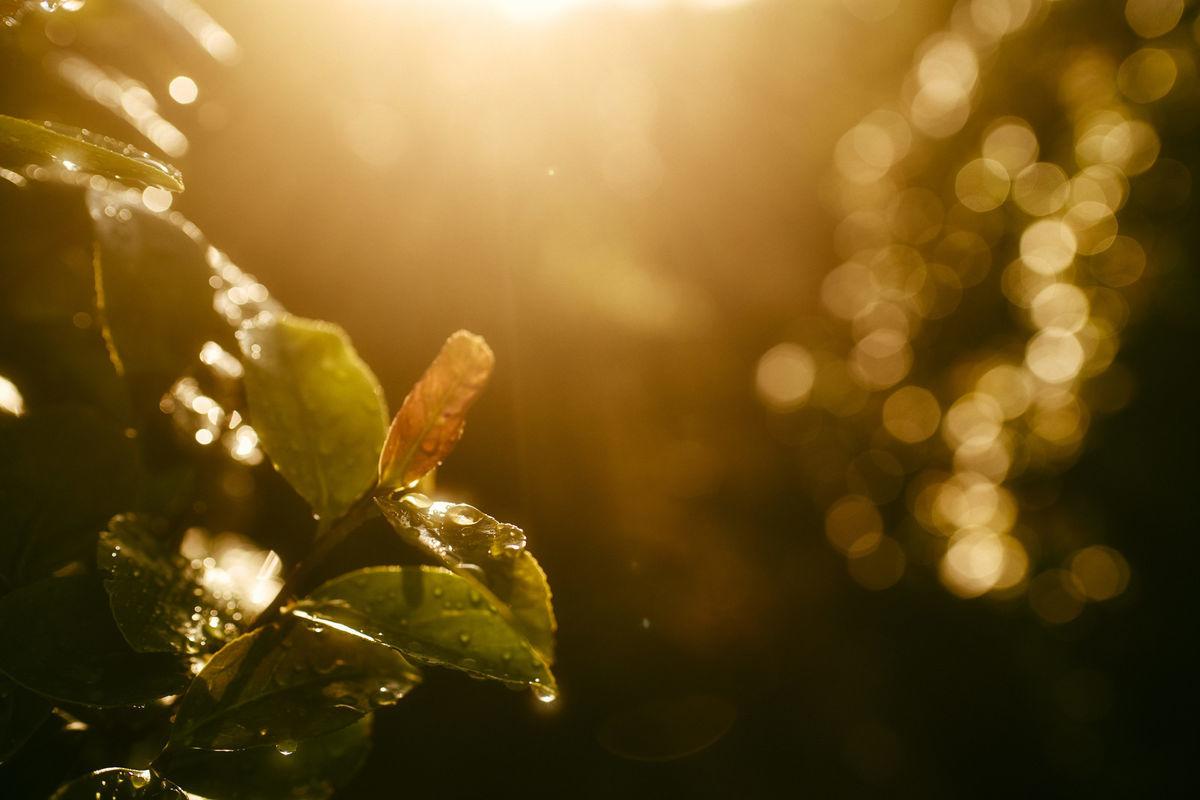 西日の中で琥珀のように輝く水滴の写真素材