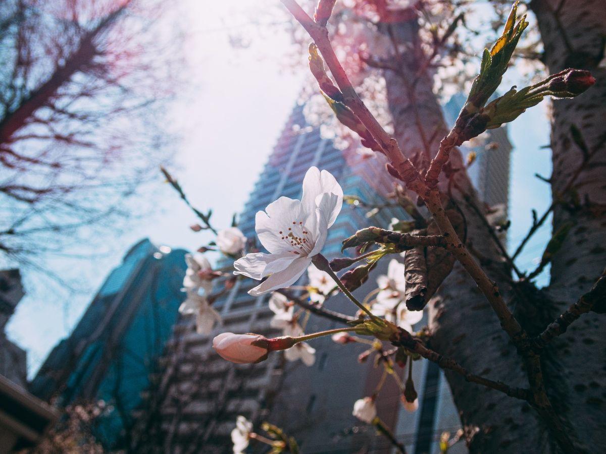 都会のビルの下で開花する桜の写真素材 ©ボブ