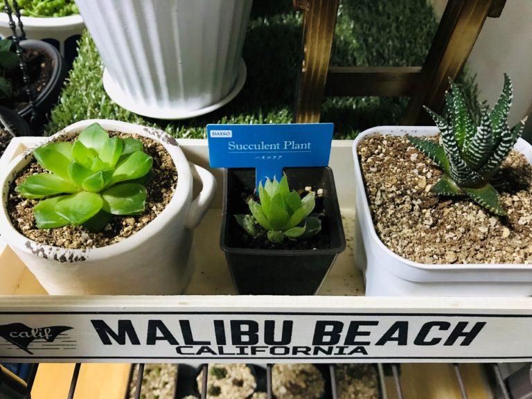 多肉植物ハオルチア3種類
