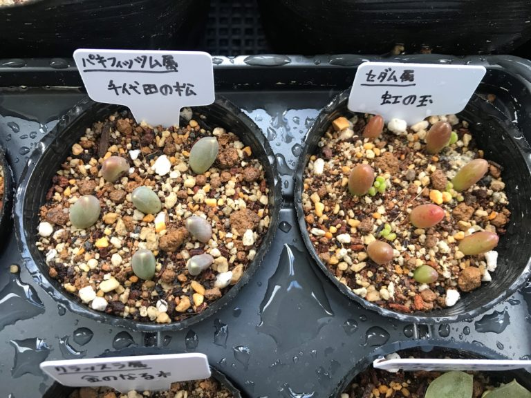 千代田の松と虹の玉の葉挿し