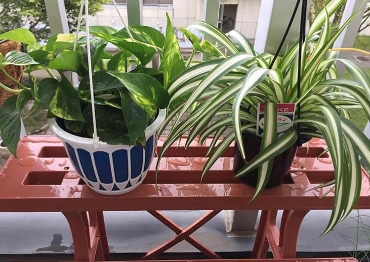 観葉植物・ポトス&オリヅルラン