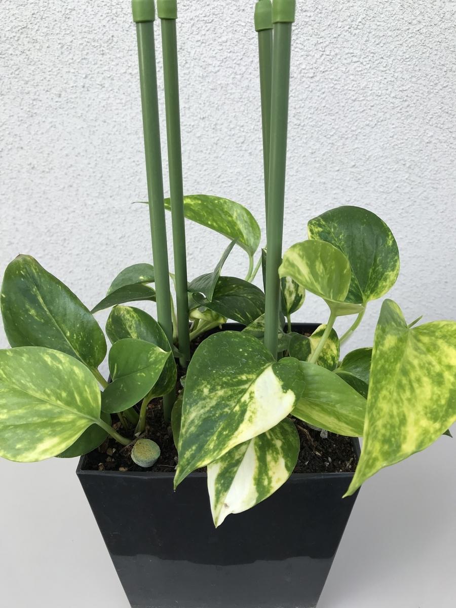 観葉植物・ポトス