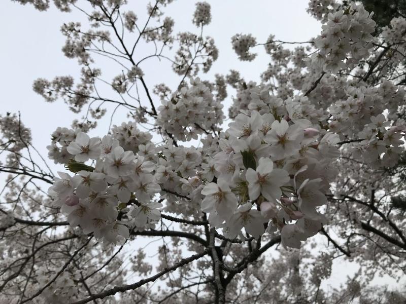 合浦公園の満開桜