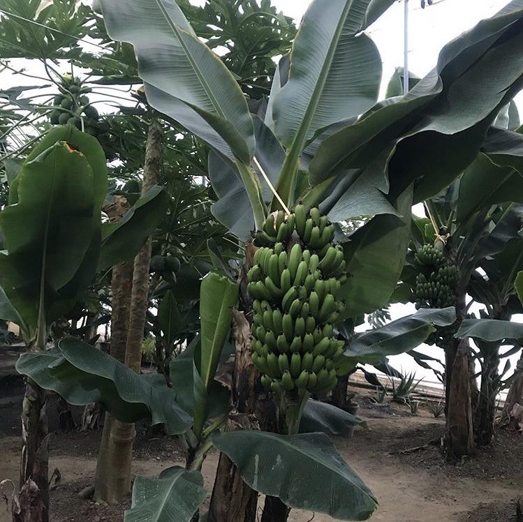 熱帯果樹園のバナナ