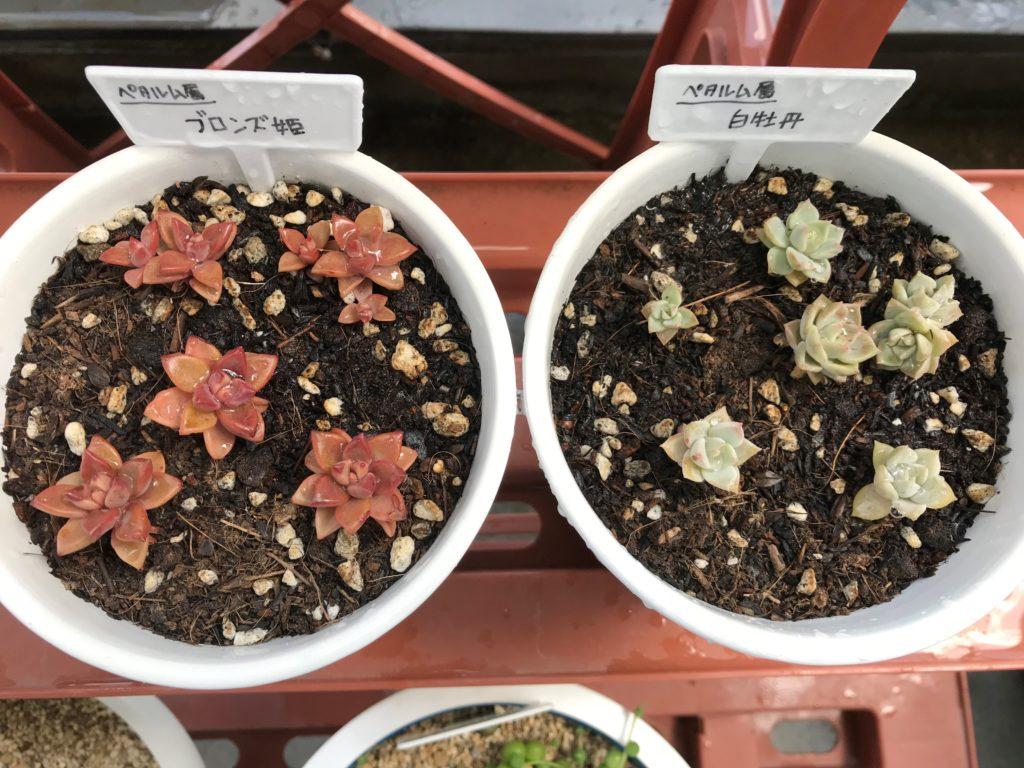 多肉植物/ブロンズ姫&白牡丹