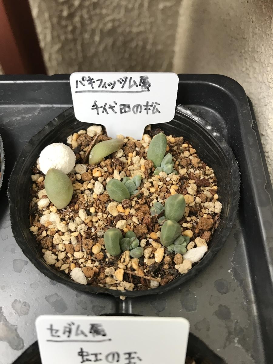 千代田の松の赤ちゃん芽
