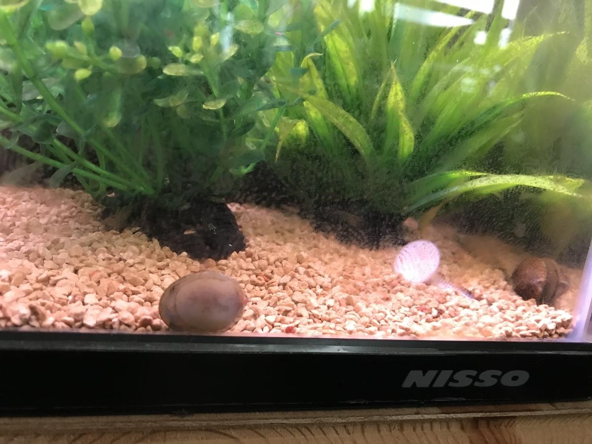 フネアマ貝の飼育