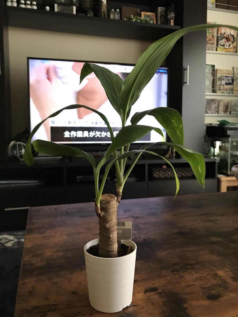 ダイソーの観葉植物、ドラセナ