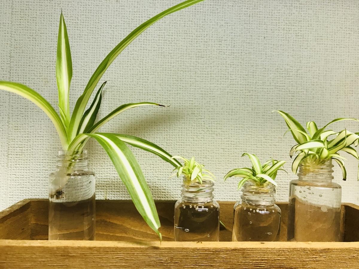 オリヅルラン子株の水耕栽培