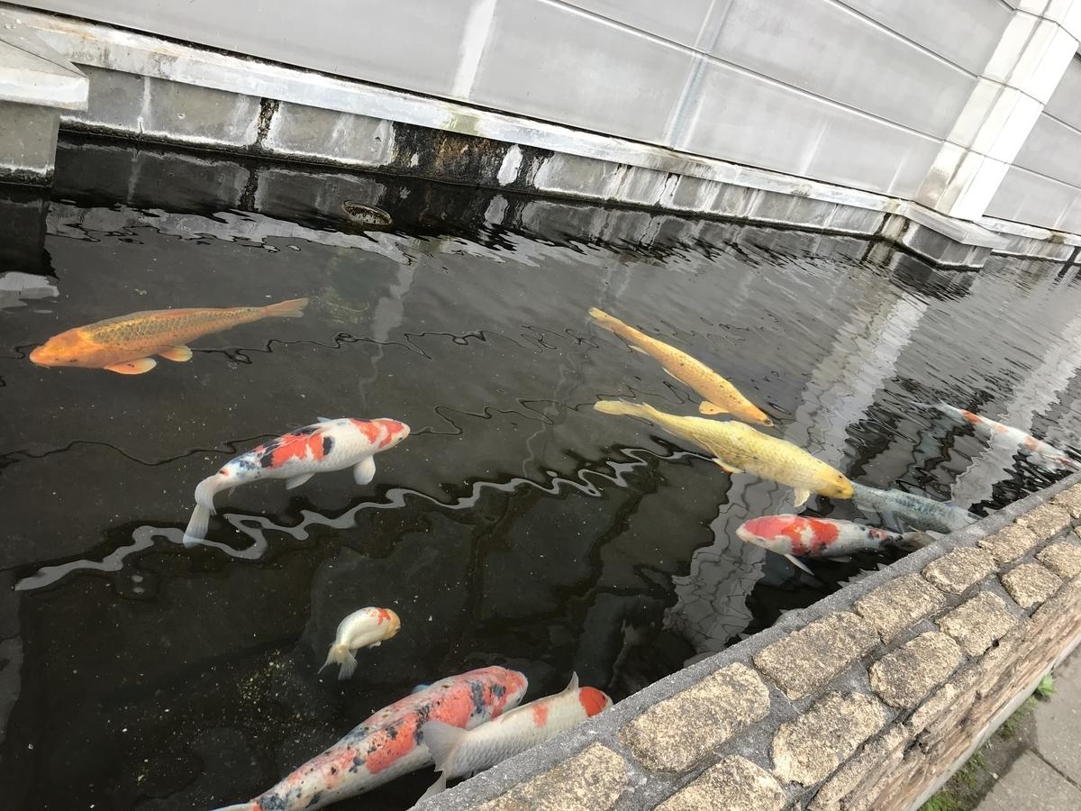 黒石市、宝温泉黒石の池の鯉と金魚