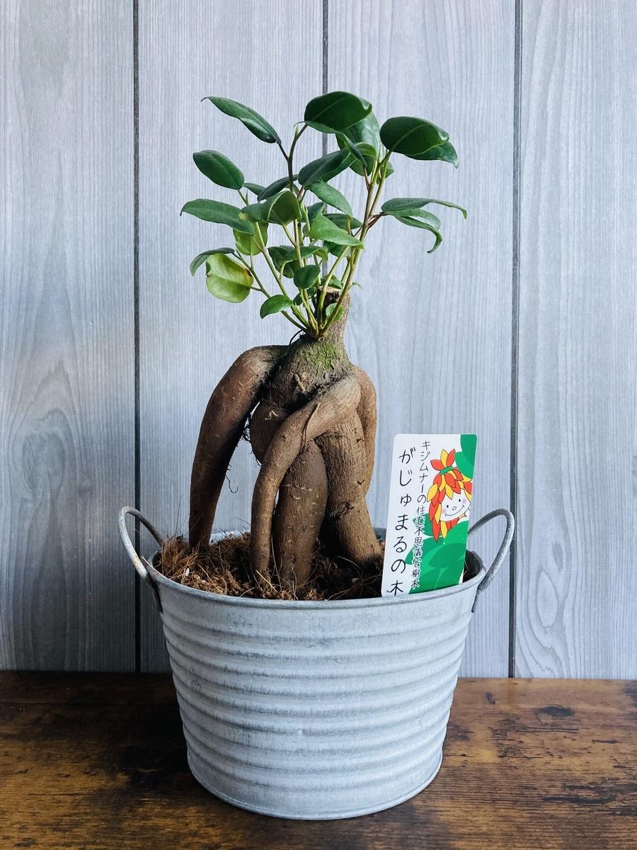 がじゅまるの木とアンティークな鉢