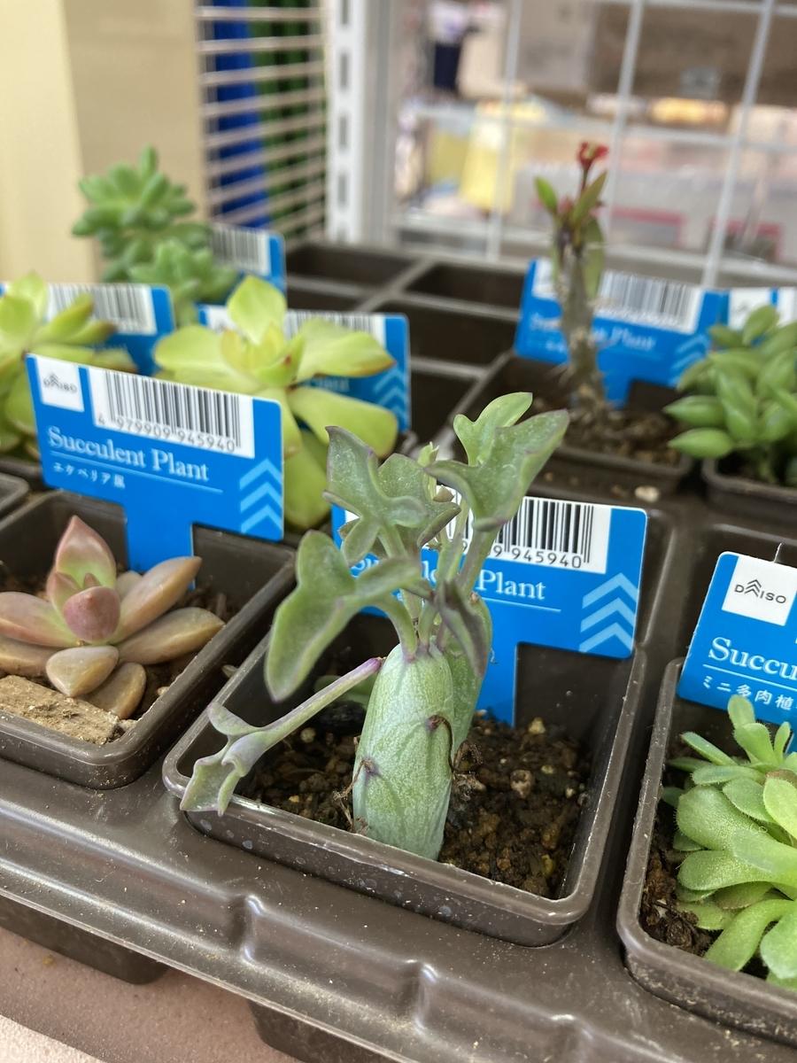 ダイソーの不思議な植物