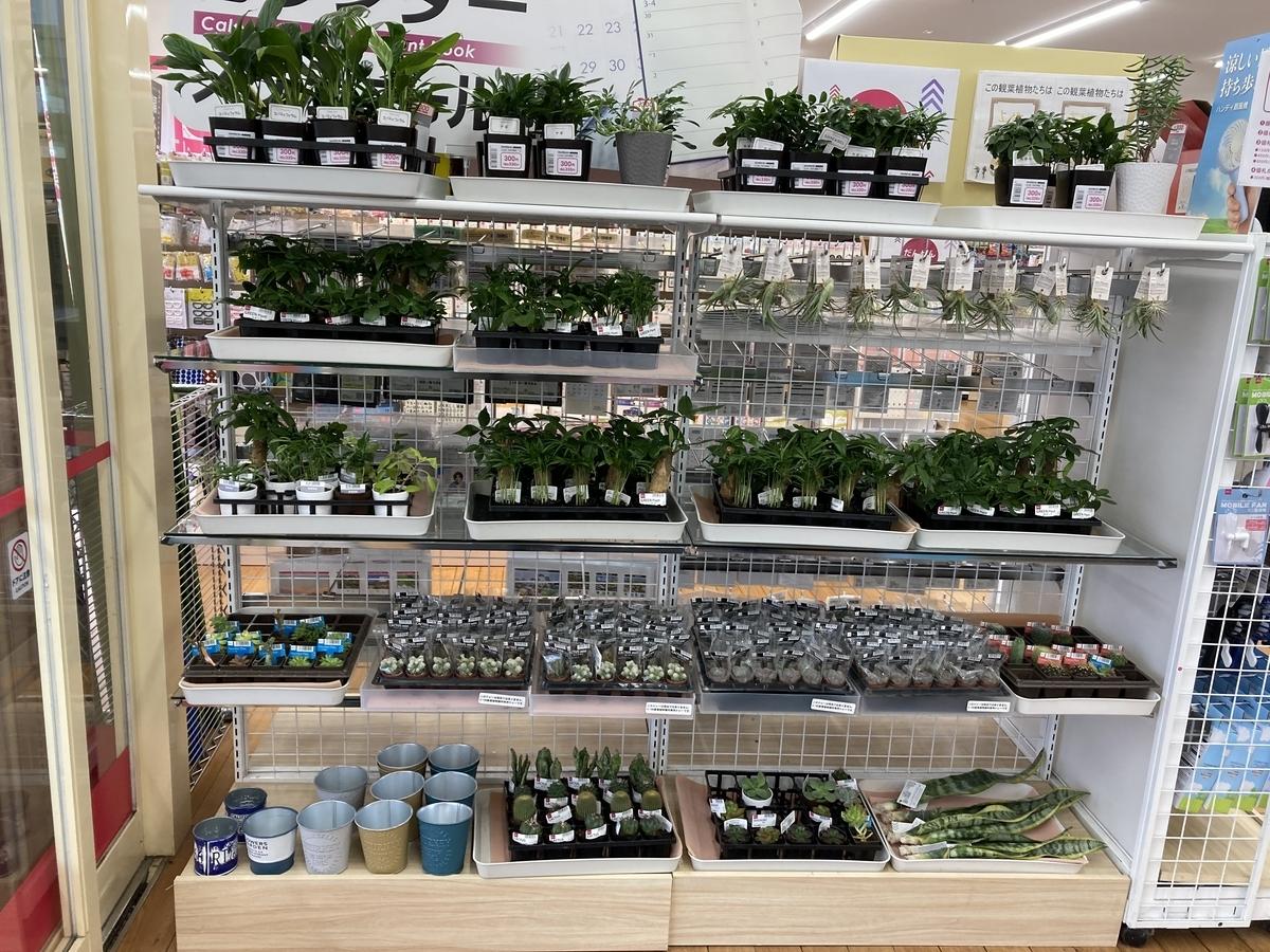 ダイソー、春の植物の大量入荷