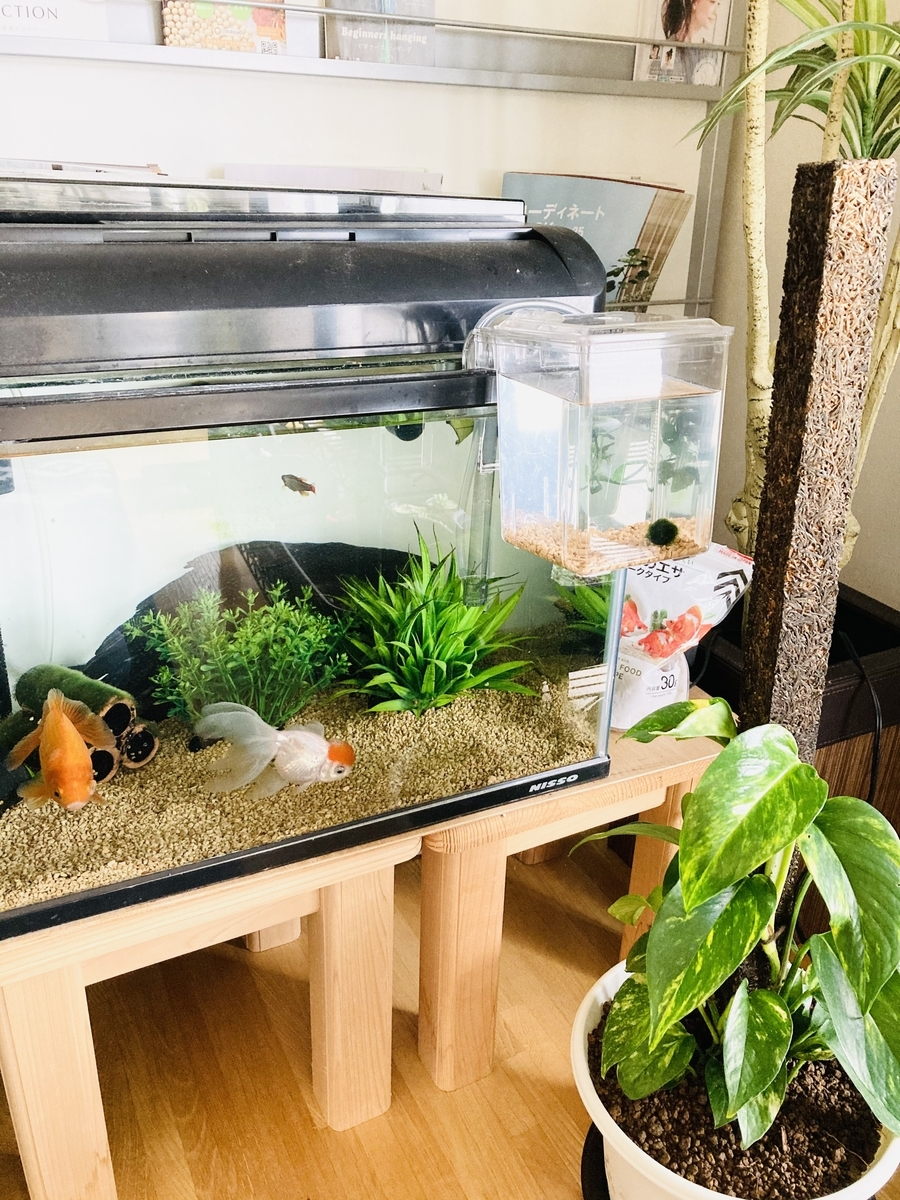 水槽と毬藻(まりも)