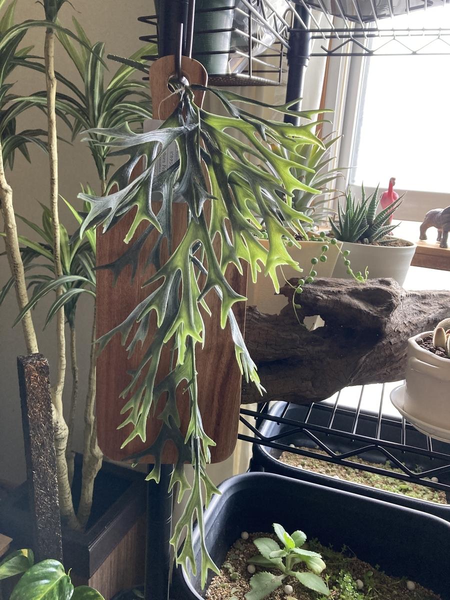 ダイソーの人口植物、ビカクシダバイン