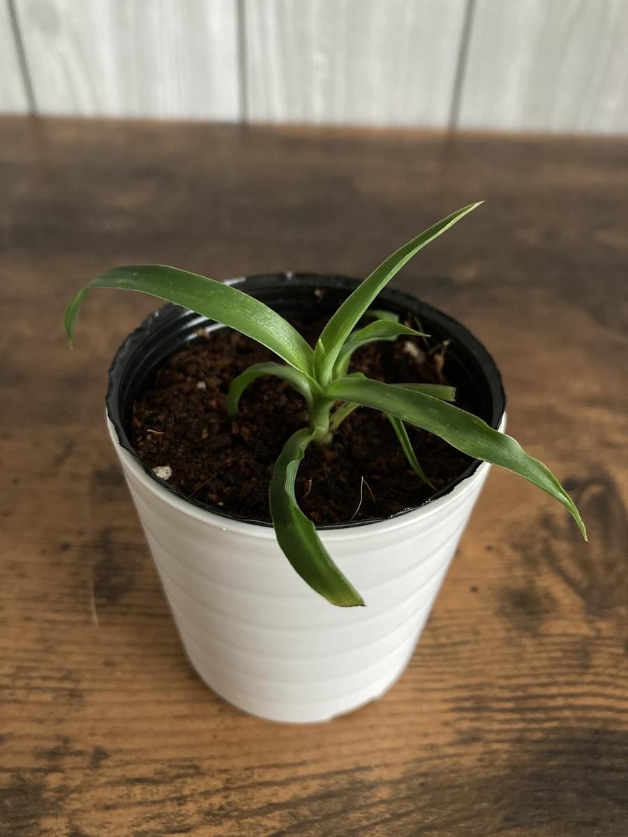 オリヅルランの緑葉