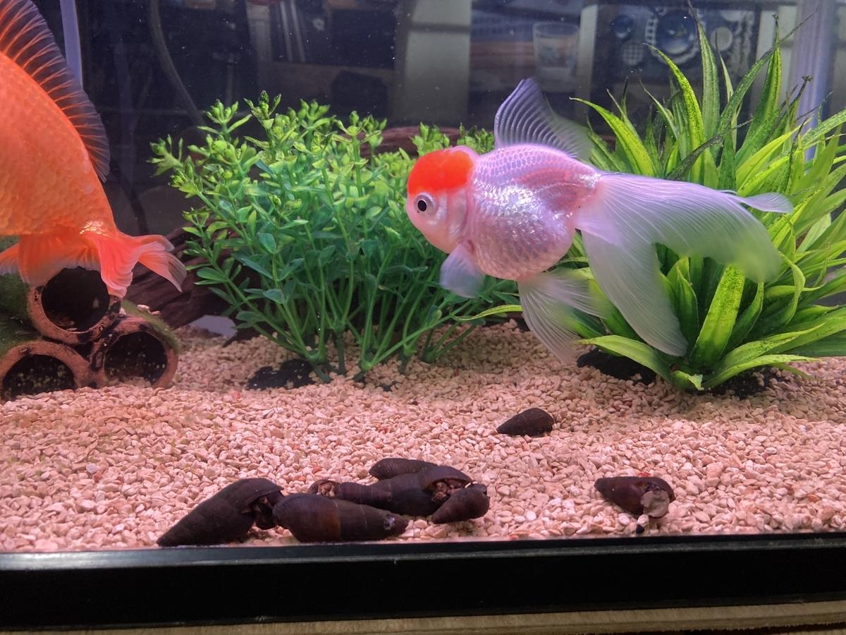 金魚とカワニナ