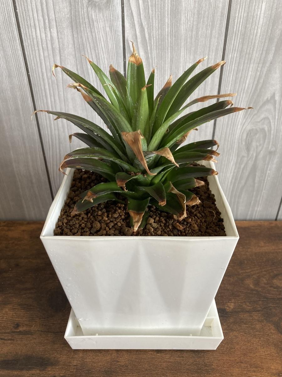 台湾パイン王蜜の鑑賞植物