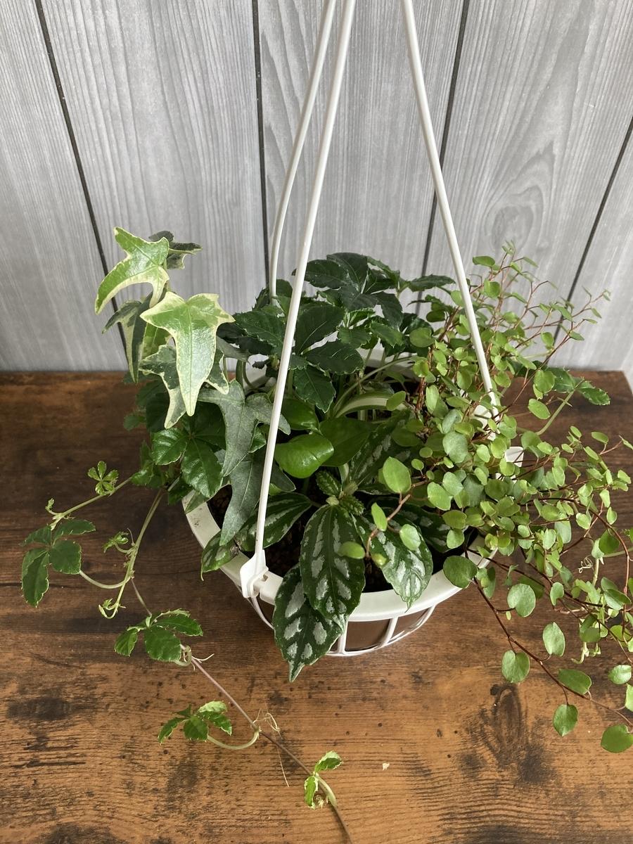 観葉植物、吊り鉢の寄せ植え