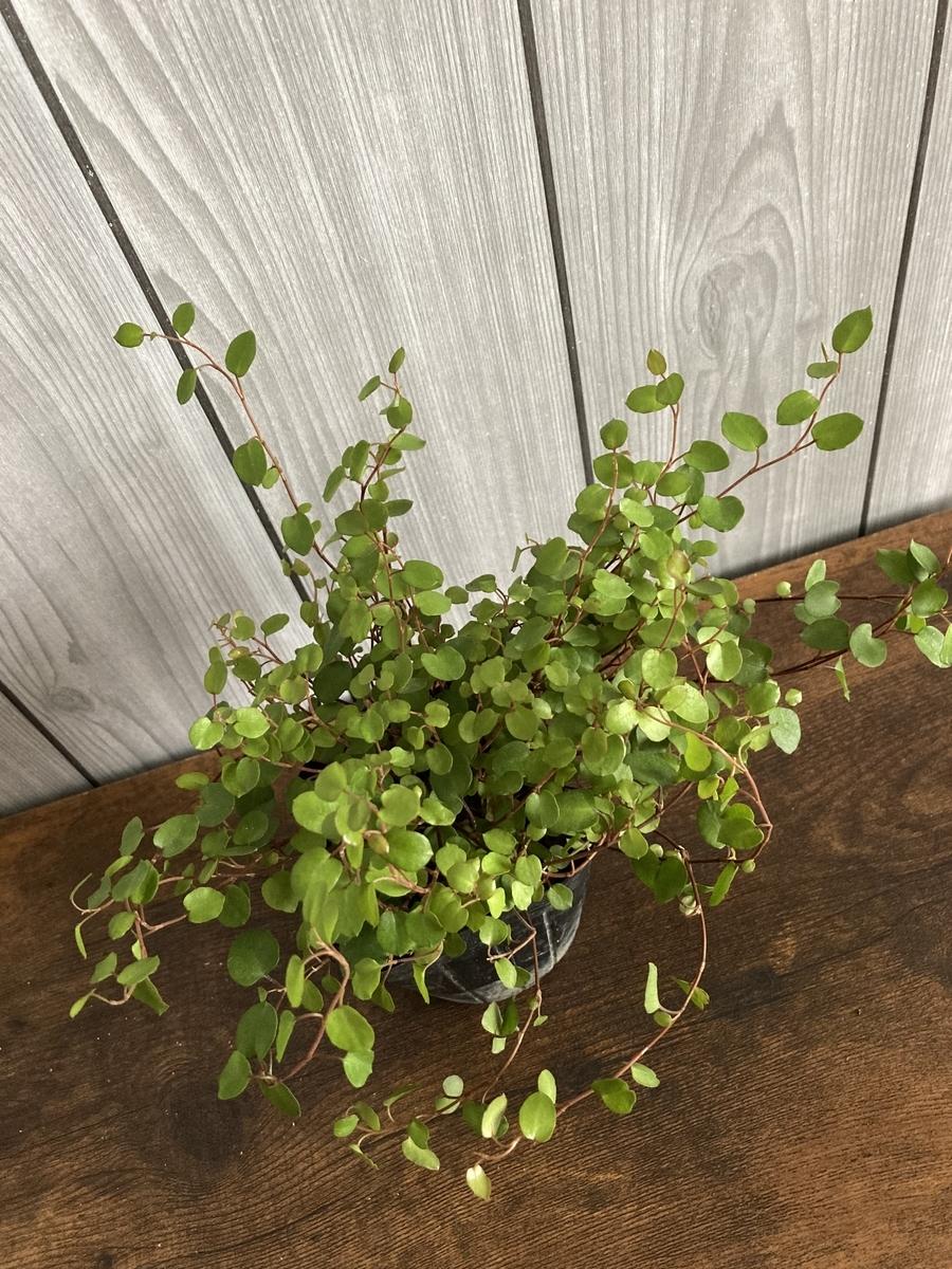 観葉植物、ワイヤープランツ