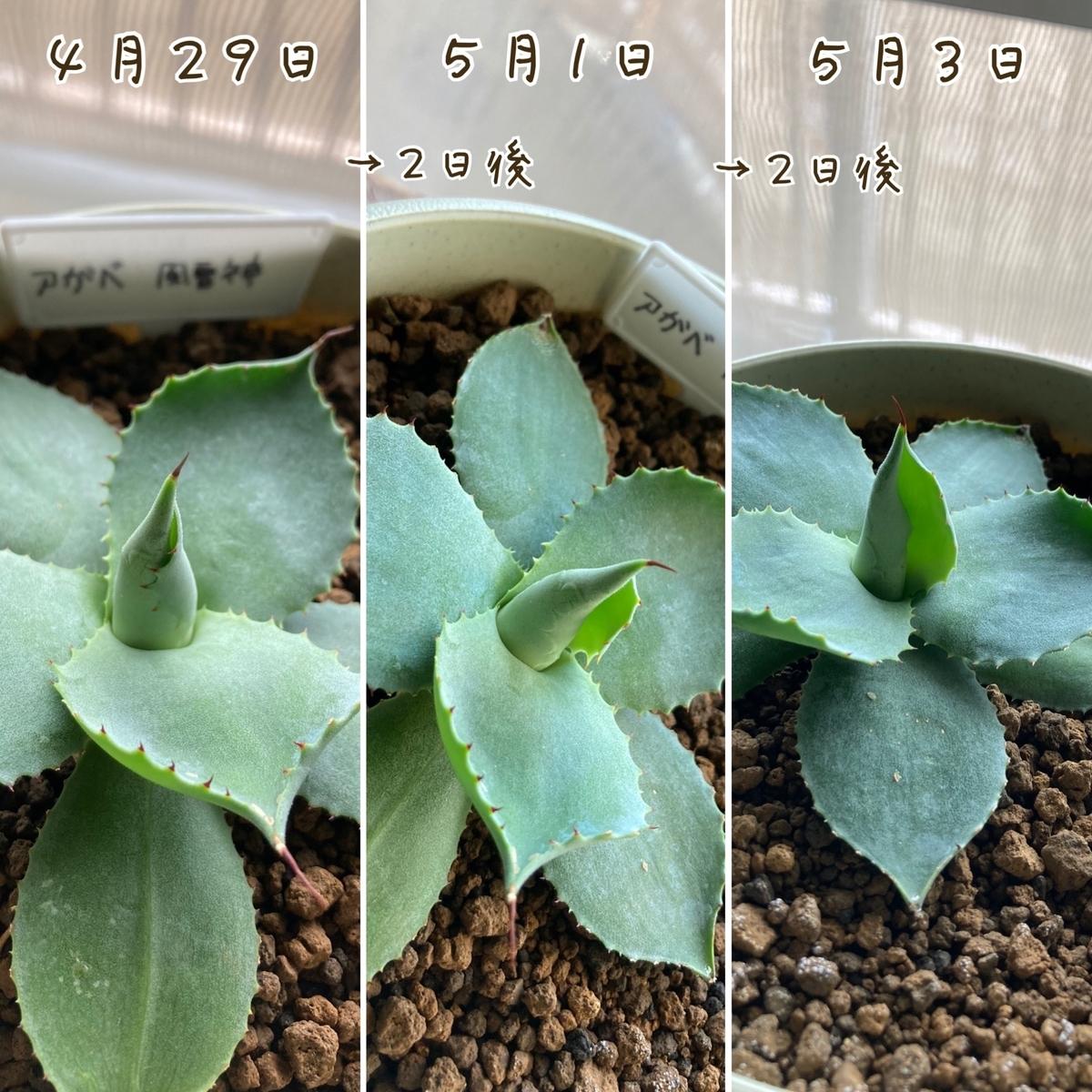 アガベの成長記録