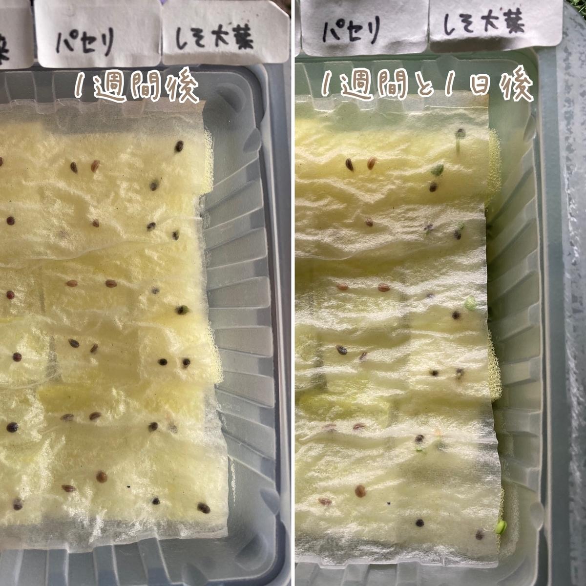 ダイソーしそ大葉の水耕栽培成長記録