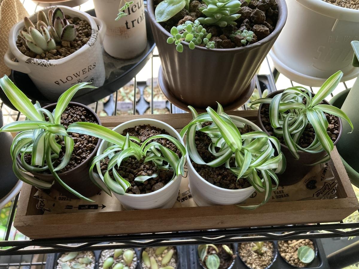 ダイソーの植物に付いてきた鉢