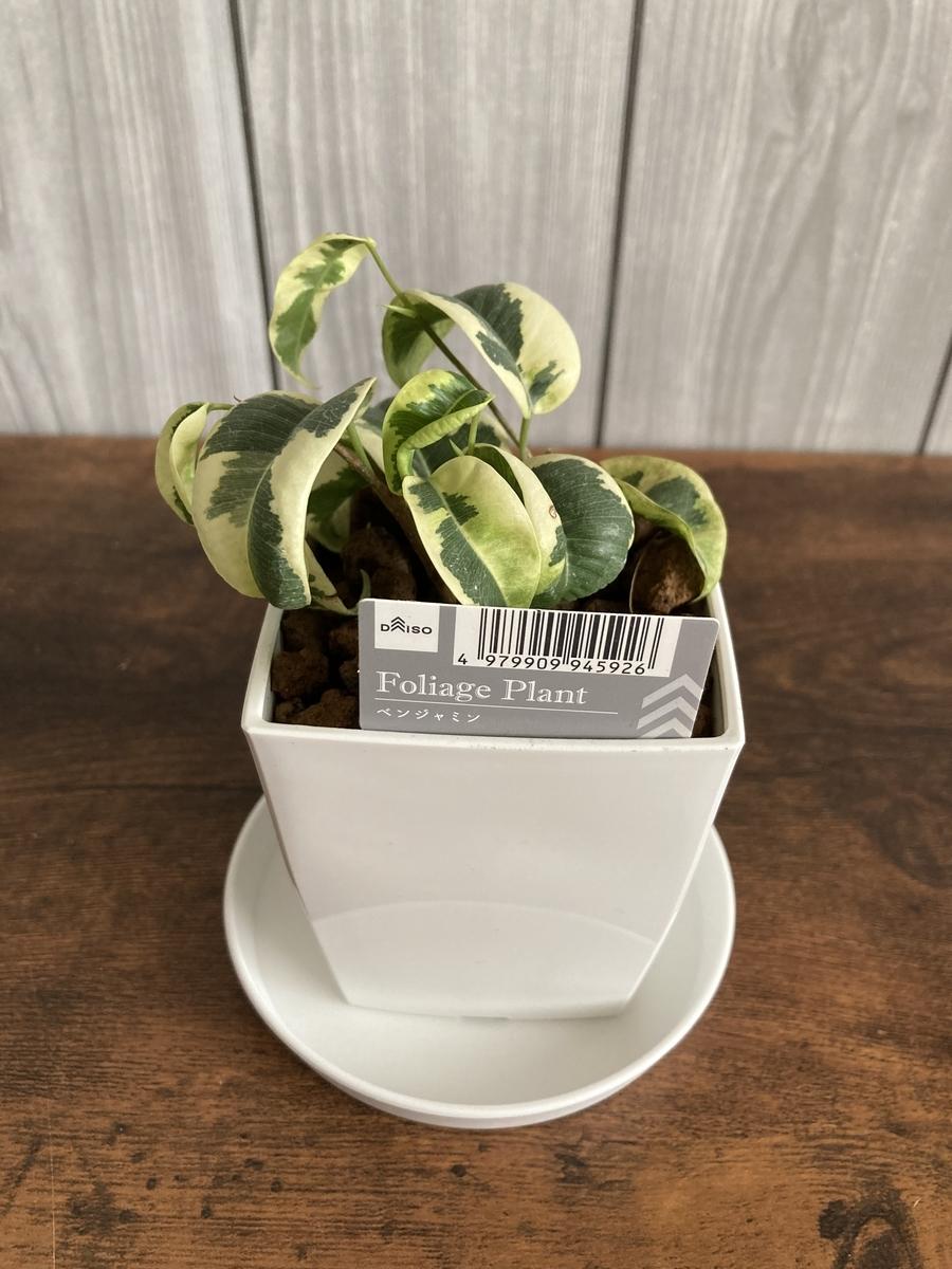 ダイソーの鉢に植え替えたベンジャミン