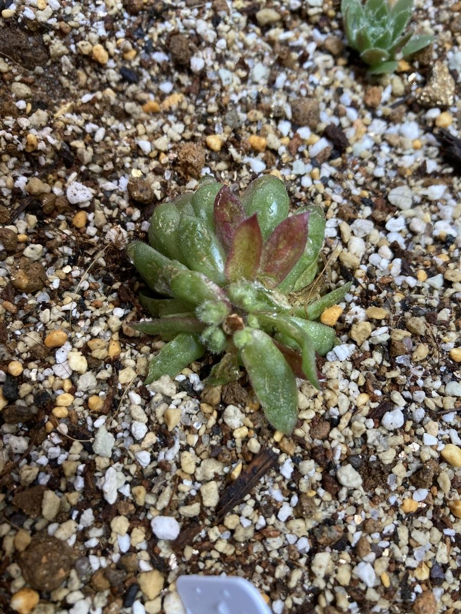 センペルビウム、カット脇芽