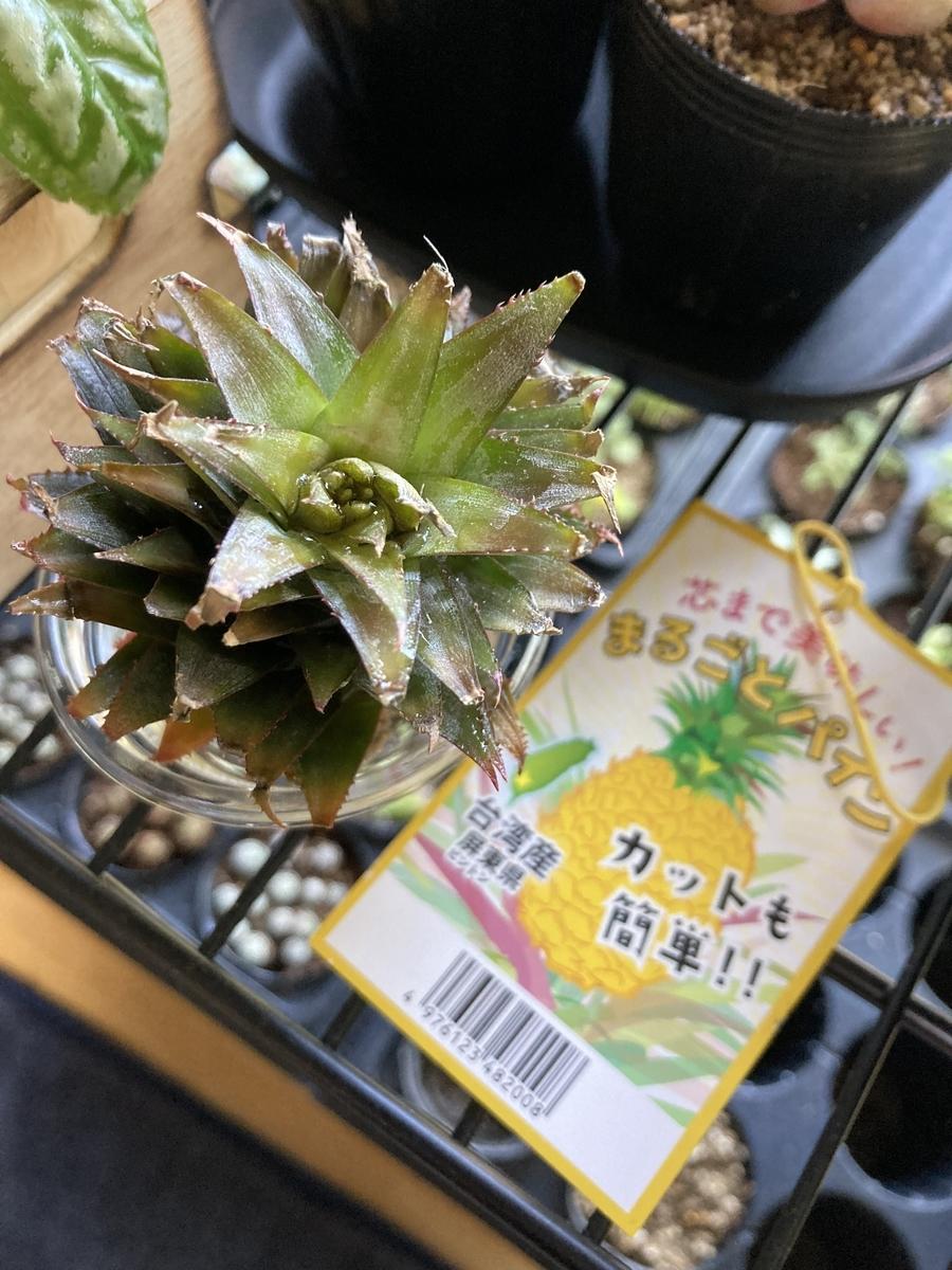 台湾パイナップルの水耕栽培