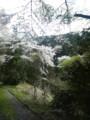 og山の桜