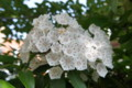 カルミア | Pennsylvania State Flower | Mountain Laurel | Kalmia latifolia |  アメリカシ